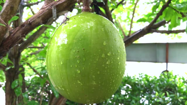 raining drop water falling on indian gourd tree - gourd stock videos & royalty-free footage