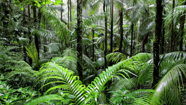 vidéos et rushes de raining in the rain forest, fungella national park, nr mackay, queensland, australia - forêt tropicale humide