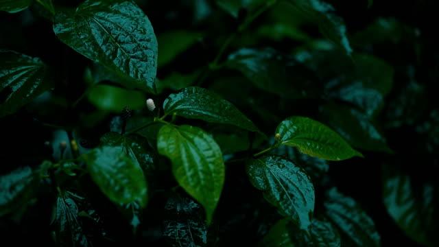 Raining on green betel leaves in the garden
