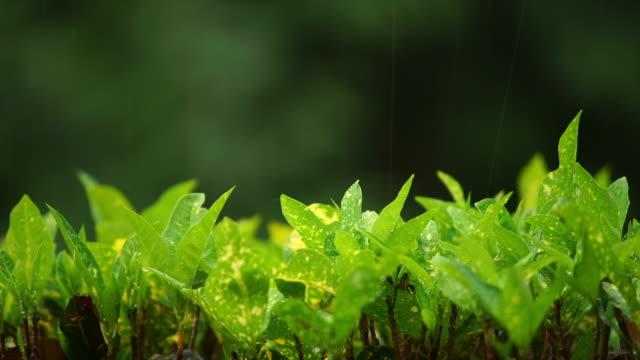 Raining On Green Leaves.