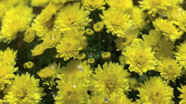 cu slo mo pan  raining water droplets on yellow chrysanthemums / morristown, new jersey, usa - chrysanthemum stock videos & royalty-free footage