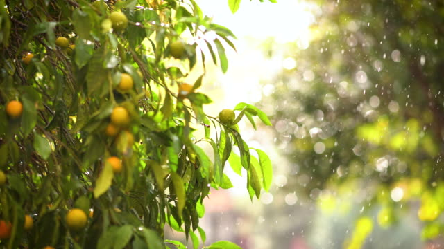 rainy day in garden - citrus fruit stock videos & royalty-free footage
