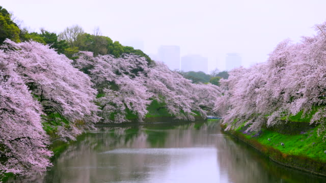 rainy morning chidorigafuchi moat surrounded by full-bloomed cherry blossoms trees. skyscrapers of kasumigaseki administrative district of japan can be seen behind in hazy sky. - 桜の花点の映像素材/bロール