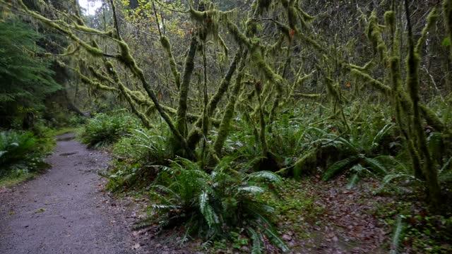 vídeos de stock, filmes e b-roll de rainy walk through hoh rain forest, hall of mosses trail, olympic national park - forma da água