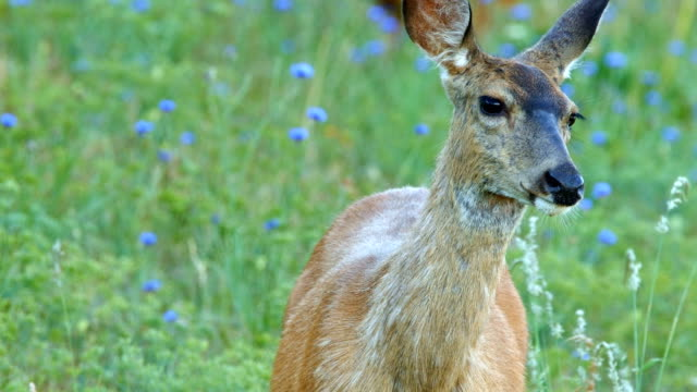 Raises head from eating alert wary cautious North American Blacktail Mule Deer Doe Grazing in Wildflower Meadow in the Columbia River Gorge near Rowena Crest