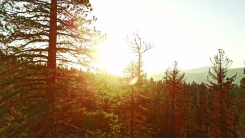 raising over the pines tree - pine tree stock videos & royalty-free footage