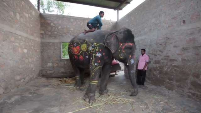 rajasthan india october 30 2014 in rajasthan there are a few ethical touristoriented places that focus on interaction with elephants where the... - young men stock videos & royalty-free footage