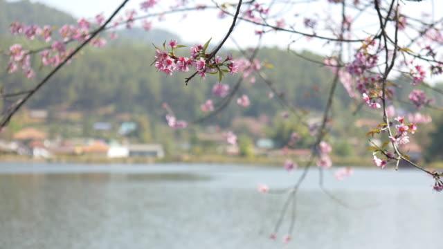 rak thai village with pink cherry blossom - censorship stock videos & royalty-free footage