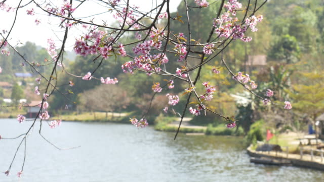 rak thai village with pink cherry blossom - censorship stock videos & royalty-free footage
