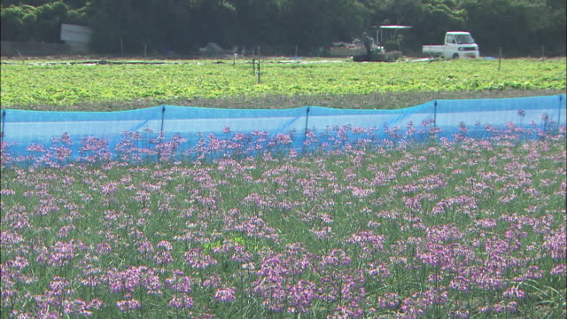 rakkyo flowers grow well because of ideal conditions. - tokushima prefecture stock videos & royalty-free footage