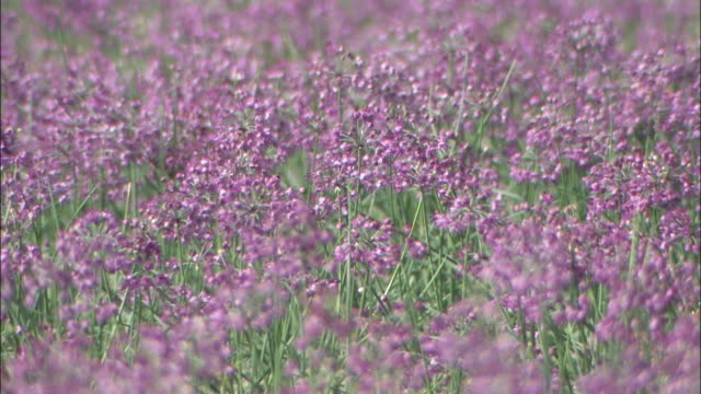 rakkyo plants bloom in a field. - tokushima prefecture stock videos & royalty-free footage