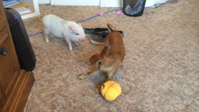 vídeos de stock e filmes b-roll de ralphie the chihuahua is seen here playing with his best friend, marcel the mini pig. check out this hilarious wrestling match! both animals were... - cão miniatura