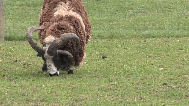 stockvideo's en b-roll-footage met ram 7 - hd 1080/30f - zoogdier