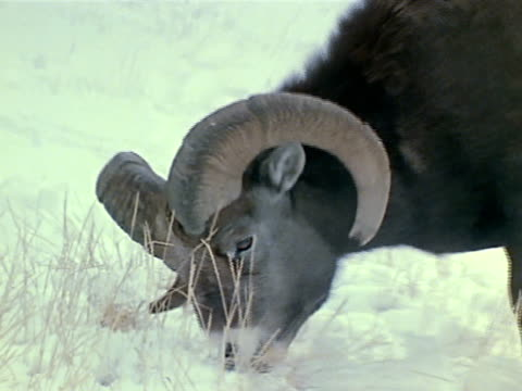 ram eating dry grass out of snow - raggomitolato video stock e b–roll