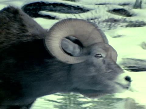ram following ewe smelling her - mutterschaf stock-videos und b-roll-filmmaterial