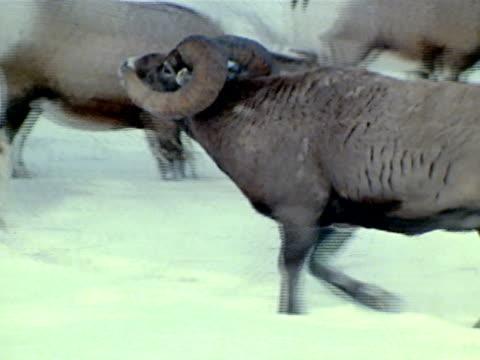 ram following female around herd standing in snow - mutterschaf stock-videos und b-roll-filmmaterial