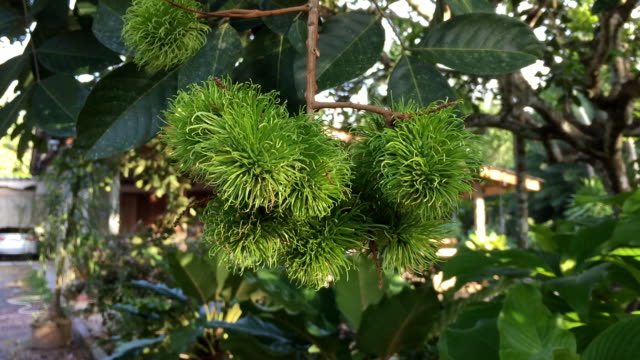 rambutan fruits hanging on tree - tropical tree stock videos & royalty-free footage