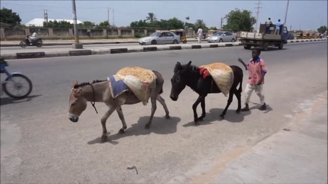 rampant chinese demand for donkey skins has caused prices to soar creating a dilemma for those who own the working animals in northern nigeria - working animals stock videos & royalty-free footage