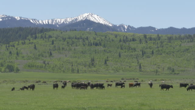 ranch cattle and snowcapped mountain - wyoming ranch stock videos & royalty-free footage