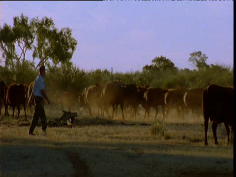 Rancher herds cattle in outback, Northern Territory, Australia
