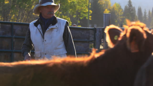 Rancher sorting cattle in holding pens
