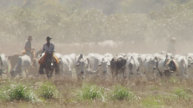 ranchers herd cattle (bos taurus indicus) through heat haze. - cattle stock videos & royalty-free footage