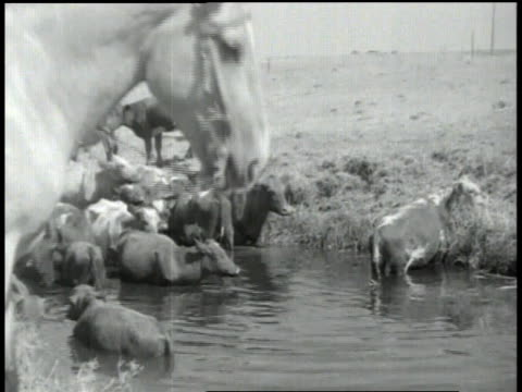 ranchers observing cattle / cattle drinking from a watering hole / mounted rancher - medium group of animals stock videos & royalty-free footage