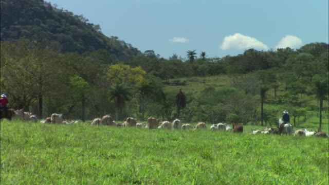 vidéos et rushes de ms ranchers on horseback herding cattle / guanacaste, costa rica - équitation de loisir