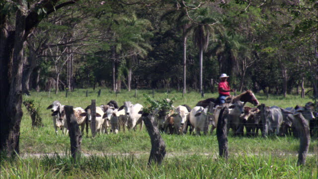 MS Ranchers on horseback herding cattle / Santa Rosa National Park, Guanacaste, Costa Rica