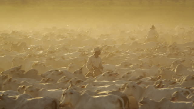 ranchers ride on horseback amoung a large herd of white cows - bovino video stock e b–roll