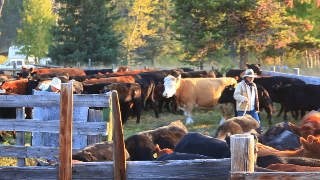Ranchers sorting cattle in holding pens