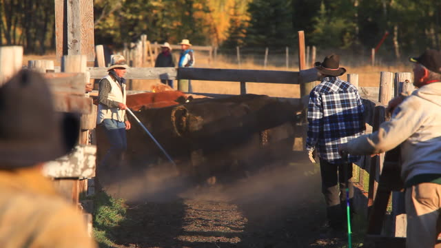 ranchers sorting cattle in holding pens - herd stock videos & royalty-free footage