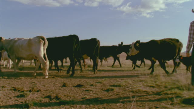 ws pov ranchers walking cattle to new feeding spot on ranch / marfa, texas, usa - rancher stock videos & royalty-free footage