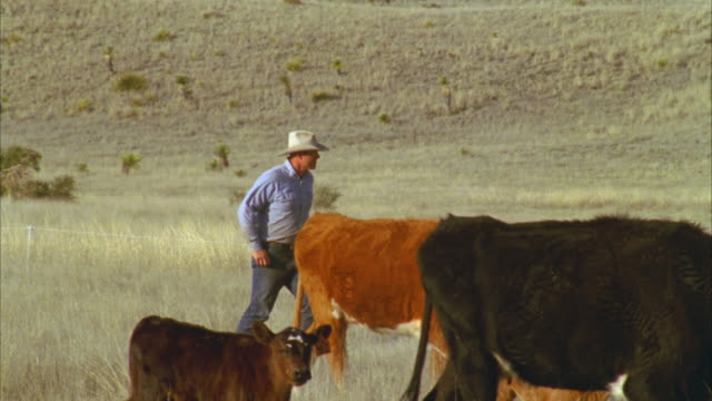 MS PAN Ranchers walking cattle to new feeding spot on ranch / Marfa, Texas, USA
