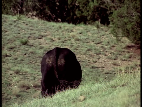 ranchers watch a black bull run around the grassy hills of a desert ranch, then try to corral him. - all horse riding stock videos & royalty-free footage