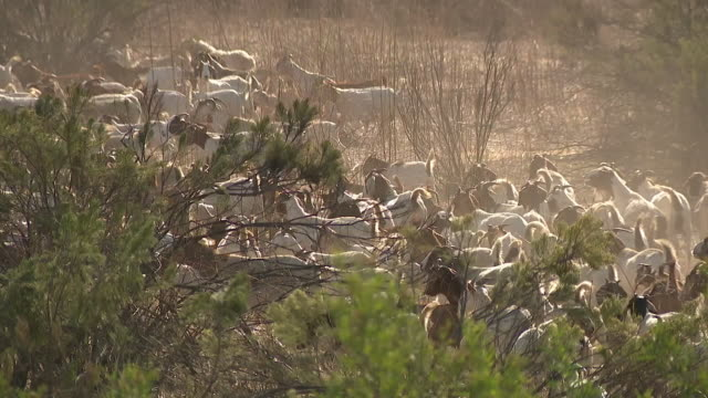 rancho san diego ca, u.s. - hundreds of goats clearing nearly 50 acres of brush at cuyamaca college to help minimize fire fuel, on thursday,... - hooved animal stock videos & royalty-free footage