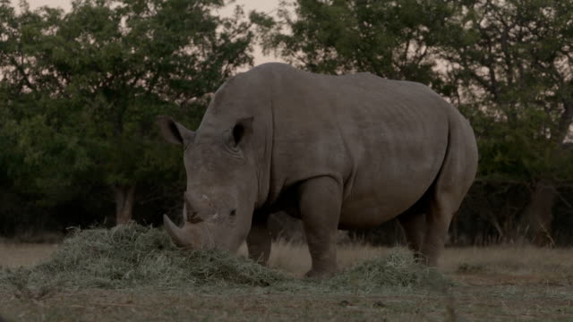ranger guarding the rhino with automatic weapons rhino poaching is a major threat to the extinction of rhinos living in and around nature reserves in... - guarding stock videos & royalty-free footage