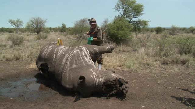 ranger looking over dead rhino killed by poachers - 公園保安官点の映像素材/bロール