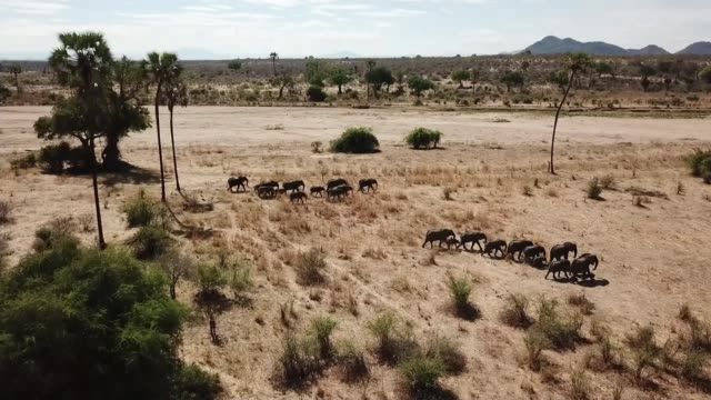Rangers in project backed by British aid were 'complicit in slaughter of elephants' TANZANIA Ruaha National Park footage of elephants along on plain...