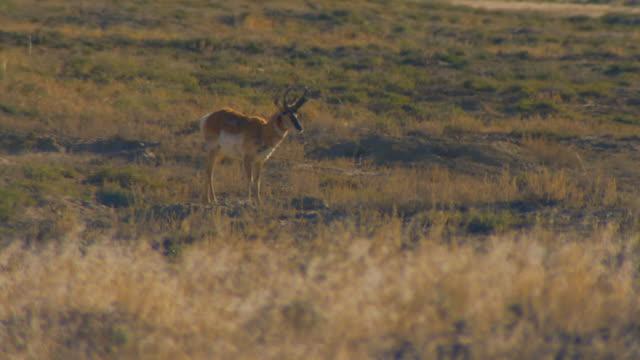 rangley, coloradoantelope walking across landscape - pronghorn stock videos & royalty-free footage