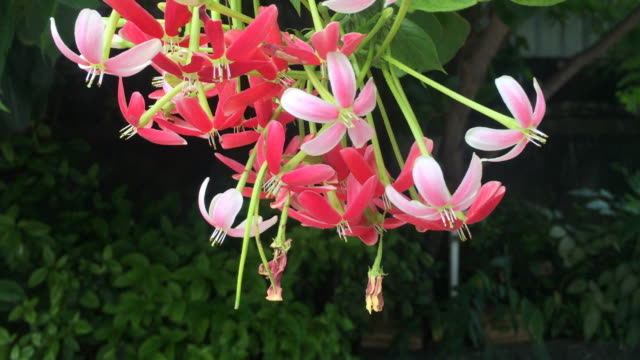 rangoon creeper flower - creeper stock videos and b-roll footage