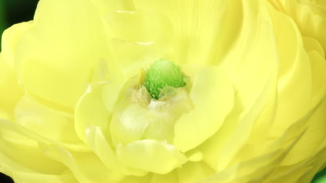 ranunculus asiaticus time lapse 4k - ranunculus stock videos & royalty-free footage