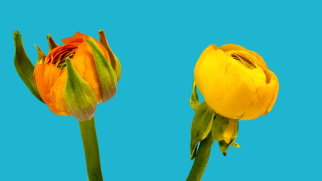 stockvideo's en b-roll-footage met ranunculus time lapse - ranonkel