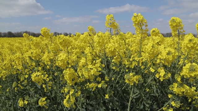 Rape Field near Glapwell, Derbyshire, England, UK, Europe