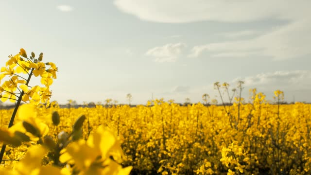 rape field - oilseed rape stock videos & royalty-free footage