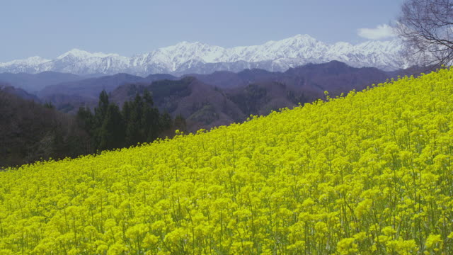 rape flower field against the backdrop of northern japanese alps - nagano prefecture stock videos and b-roll footage