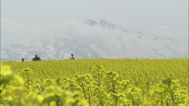 rape flowers bloom at the foot of snowy mt. chokai in japan. - 鳥海山点の映像素材/bロール