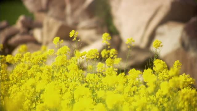 cu, selective focus, rape (brassica napus) flowers on field, ladakh, jammu and kashmir, india - crucifers 個影片檔及 b 捲影像