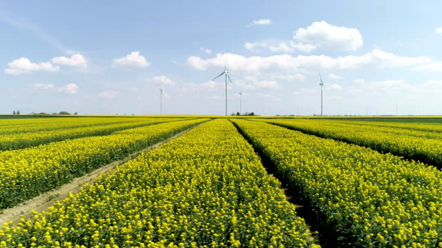 rape plants blooming on a large field. aerial view - rapeseed oil stock videos and b-roll footage