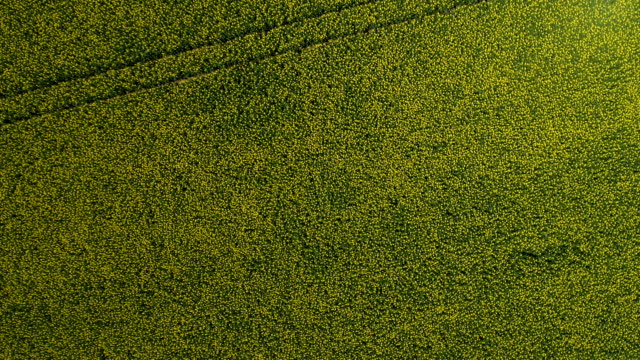 Rape plants blooming on a large field. Aerial view